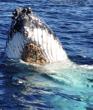 Hump back Whale Spyhopping