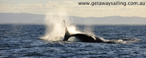 Gold Coast Humpback whale Tail Slapping