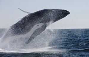 Quality Whale watching gold coast