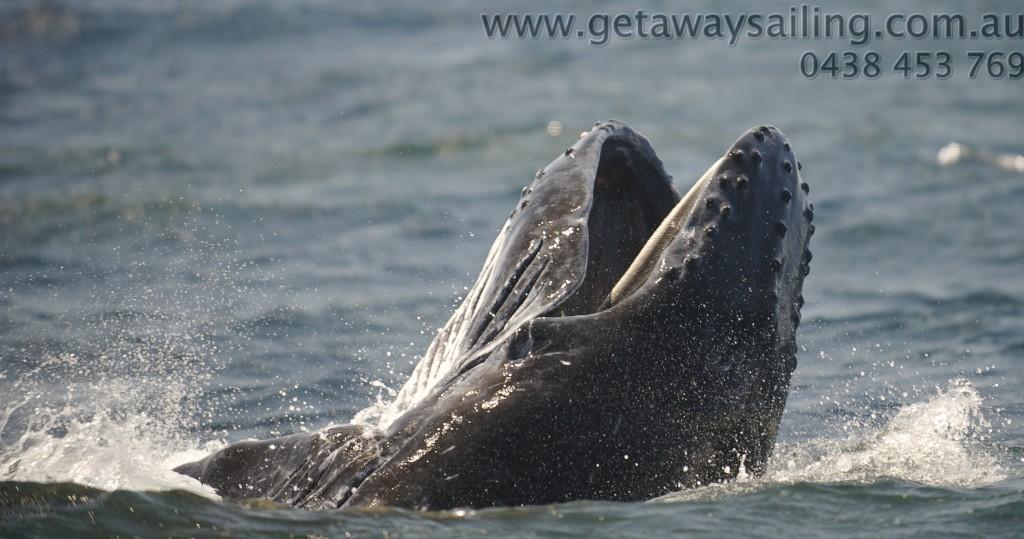 Baleen humpback whale gold coast