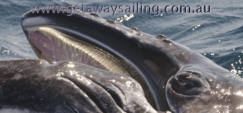 Baleen humpback whale