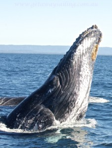 Gold Coast whale watching with Getaway Sailing